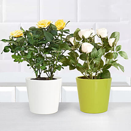 Yellow and White Rose Plant
