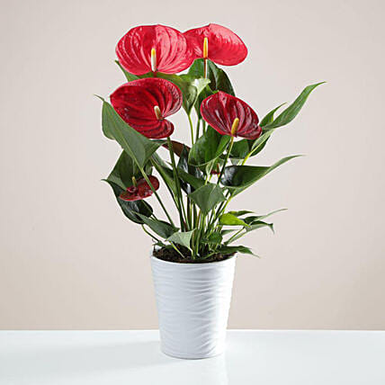 Red Anthurium In White Ceramic Pot:Plants  in UK