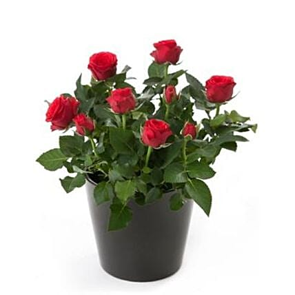 Rose Plant Gift Pack:Send Flowers to UK