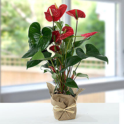 Red Anthurium Jute Wrapped Potted Plant:Plant Delivery in UK