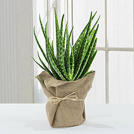 Aloe Vera Plant With Jute Wrapping:Plants  in UK
