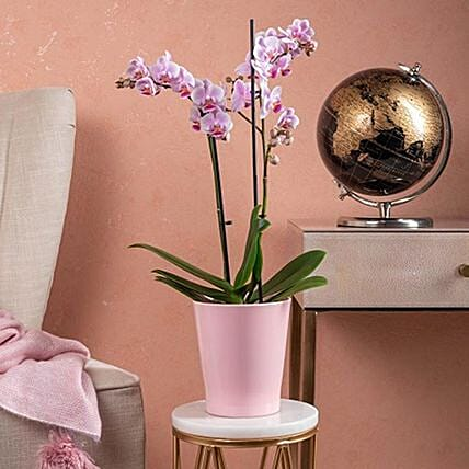 Lovely Phalaenopsis Orchid Plant In Pot:Send Diwali Flowers to UK