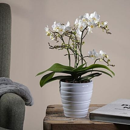 Wild White Orchid Plant