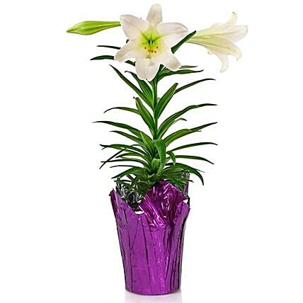 Easter Spirited Lily Plant In Purple Cover Pot