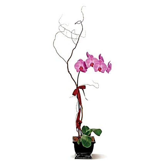 Lavender Phalaenopsis