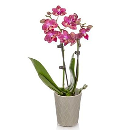 Magenta Orchid Plant:Send Orchid Flowers to USA