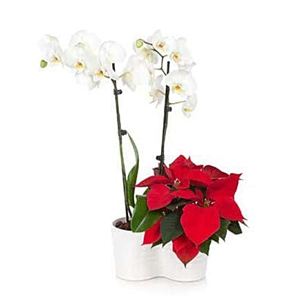 Opulent Christmas Orchid:Send Orchid Flowers to USA