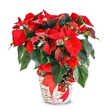 Pristine Floral Poinsettia Arrangement