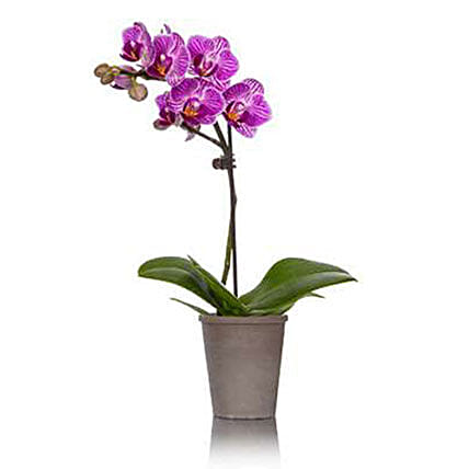 Purple Orchid Plant In Ceramic Pot
