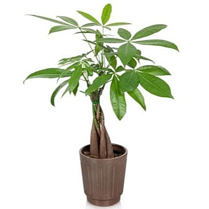 Royal Money Plant