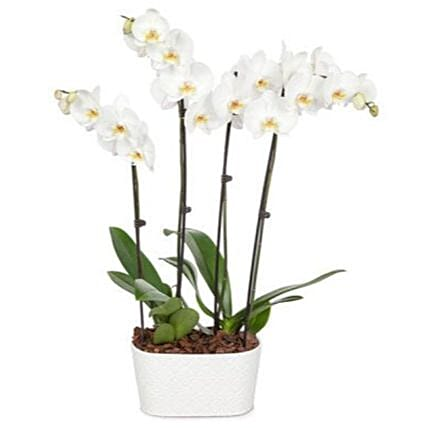 Snowy White Orchid Plant:Orchid Delivery in USA