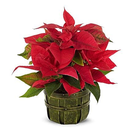 Traditional Holiday Poinsettia Floral Arrangement
