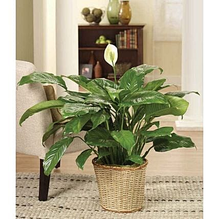 Calming Peace Lily Plant:Plants  in USA