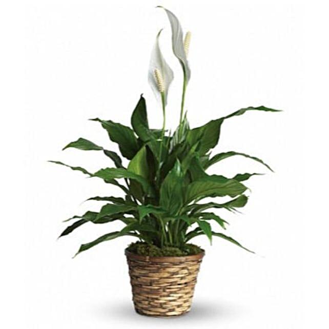 Graceful Spathiphyllum Plant