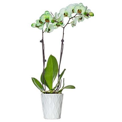 Green Dyed Premium Orchid Plant