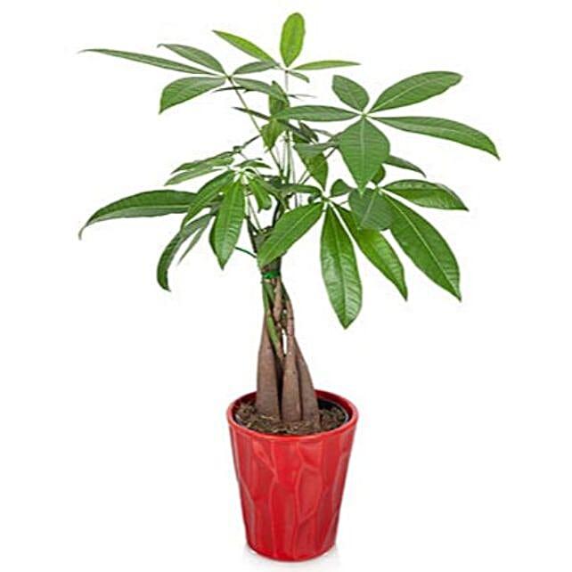 Lucky Money Tree