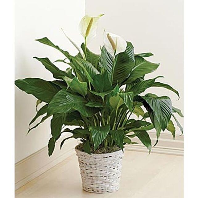 Peace Lily Plant Basket