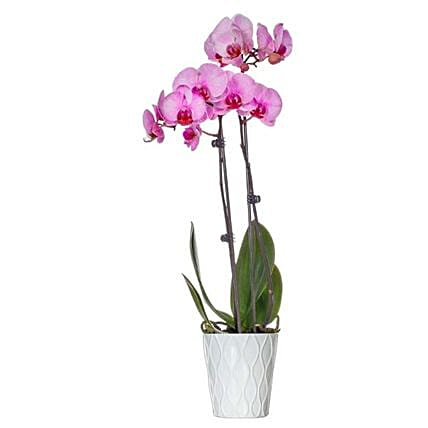 Pink Dyed Premium Orchid Plant