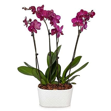 Blooming Orchid Plant Pot