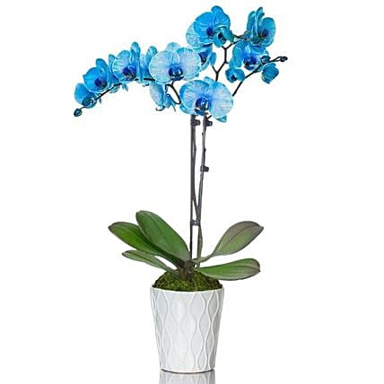 Blue Orchid Plant In White Planter:Send Orchid Flowers to USA