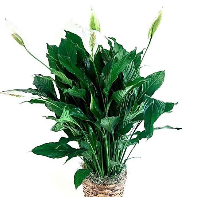 Green Plant In Wicker Basket