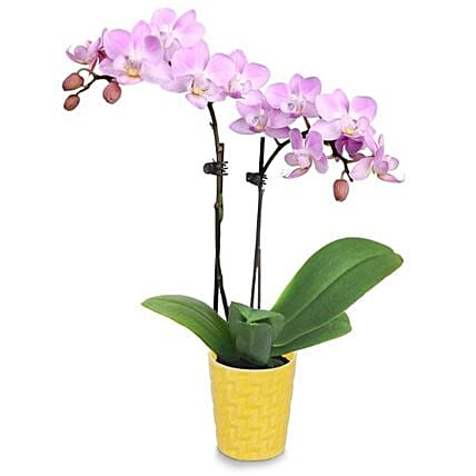 Peaceful Orchid Plant Pot:Orchid Delivery in USA